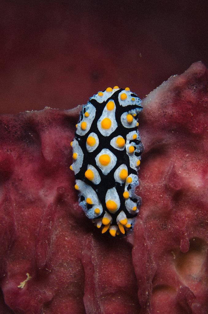 Nudibranch (Fryeria picta)