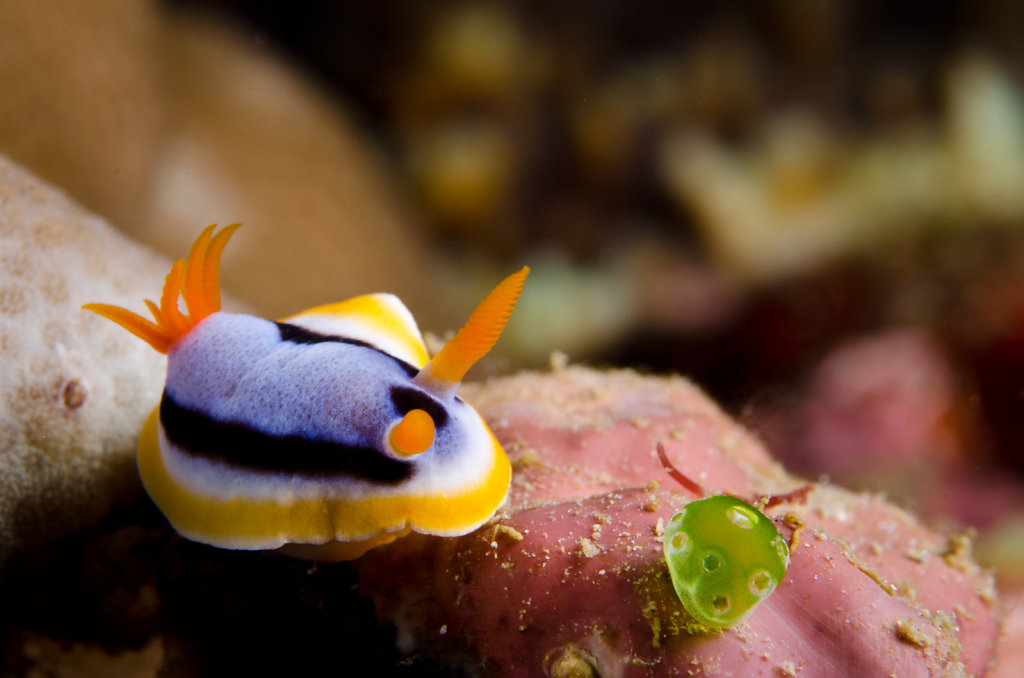 Nudibranch Anna's Chromodoris (Chromodoris annae)