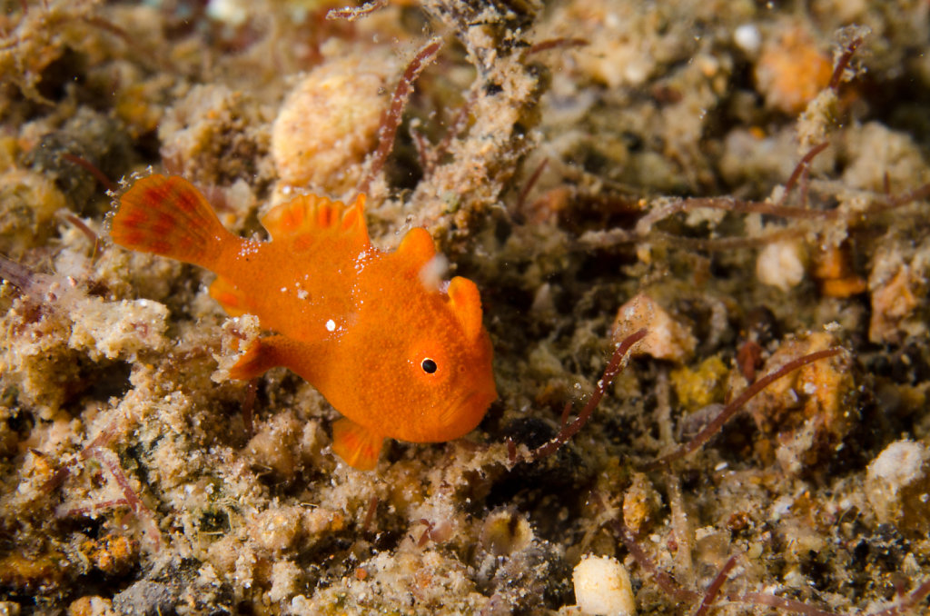 Tiny Painted Frogfish