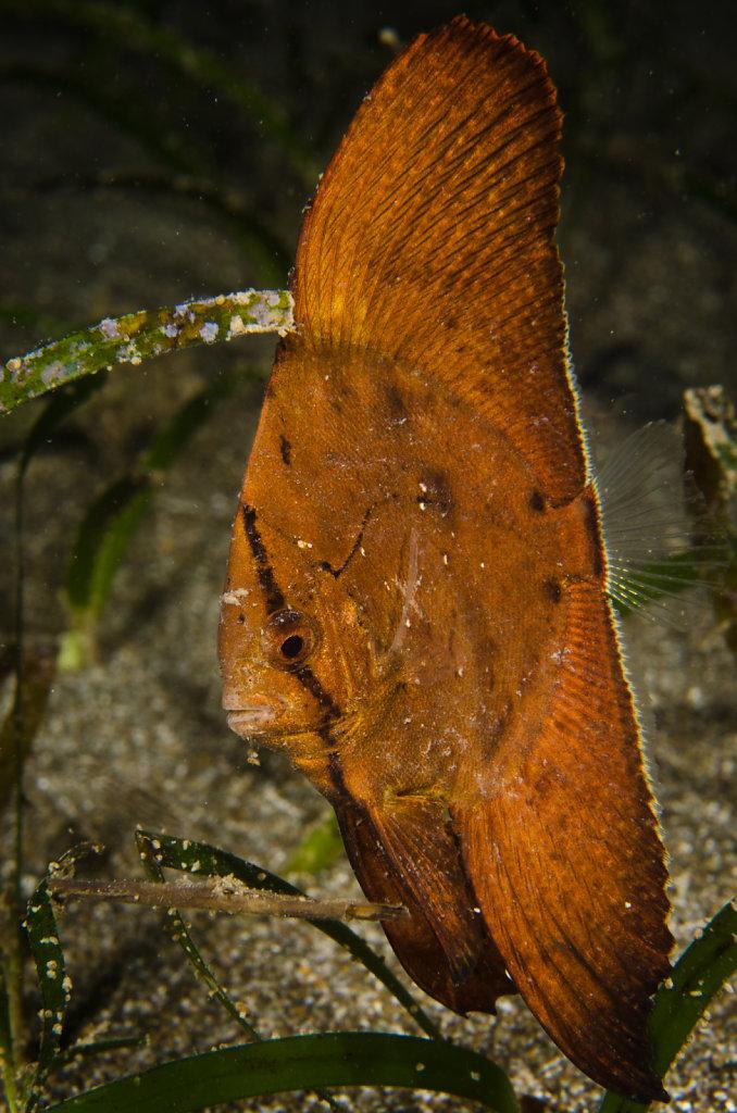 Circular Spadefish Juvenile