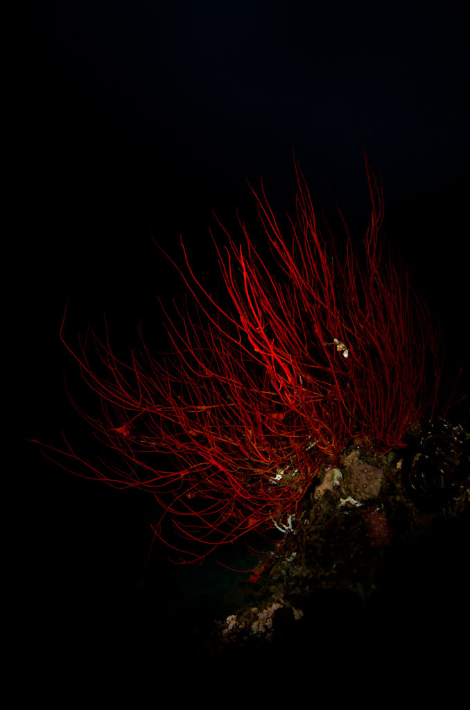 Gorgonian Sea Whip