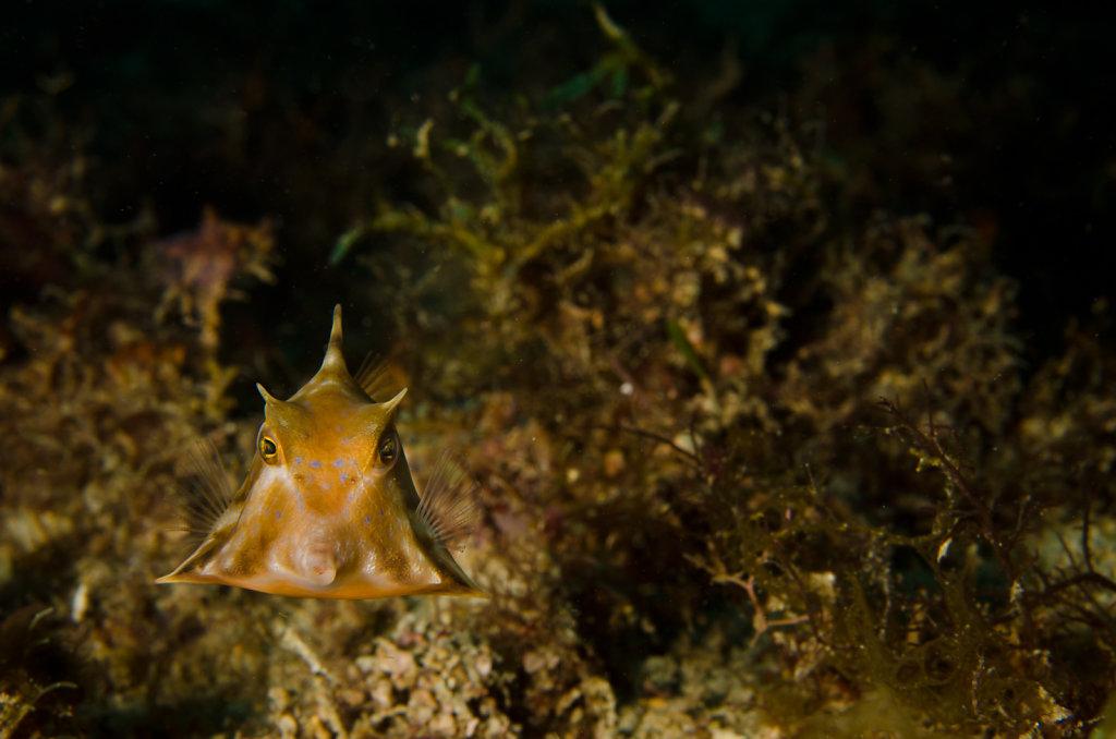 Humpback Turretfish