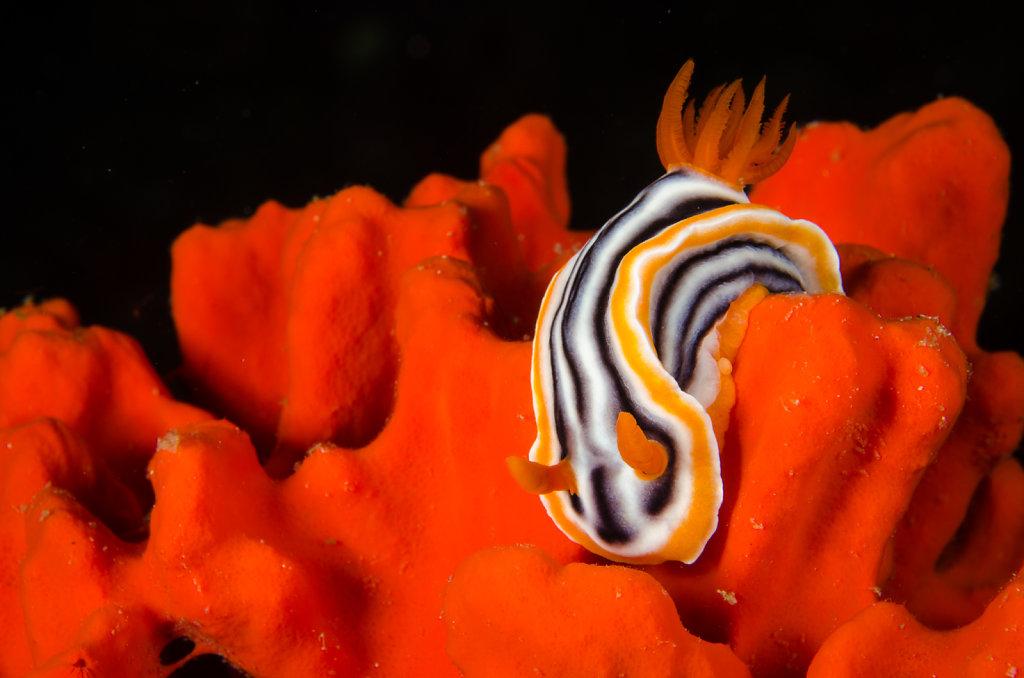 Nudibranch Magnificent Chromodoris (Chromodoris magnifica)