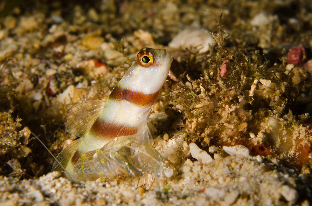 Steinitz' Shrimpgoby & Alpheid Shrimp