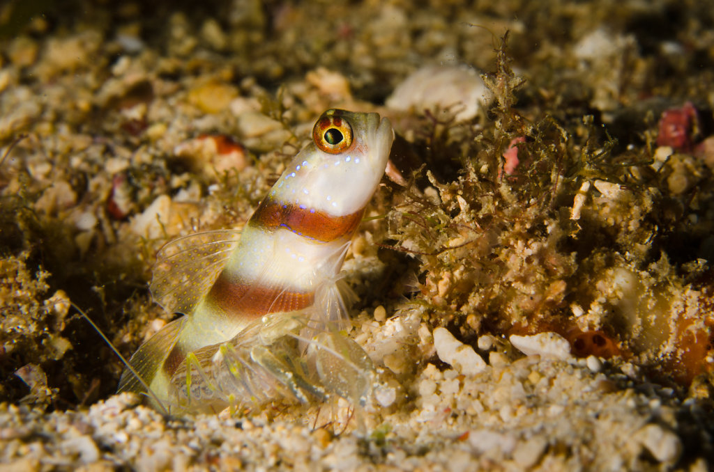 Steinitz' Shrimpgoby & Alpheid Shrimp
