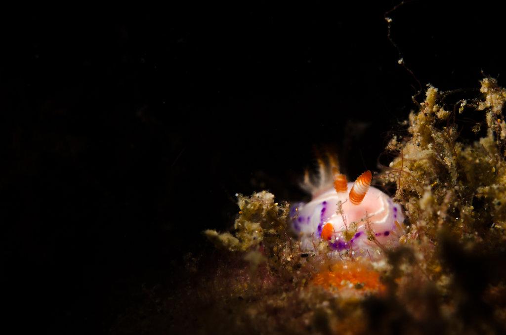 Nudibranch (Thorunna sp.)