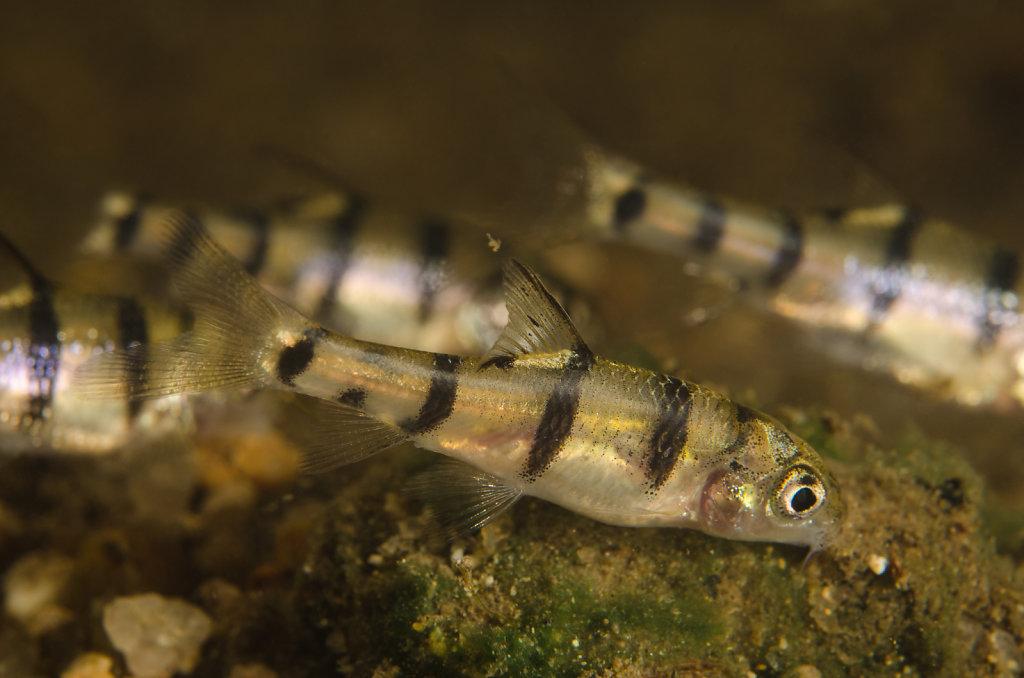北江光唇魚