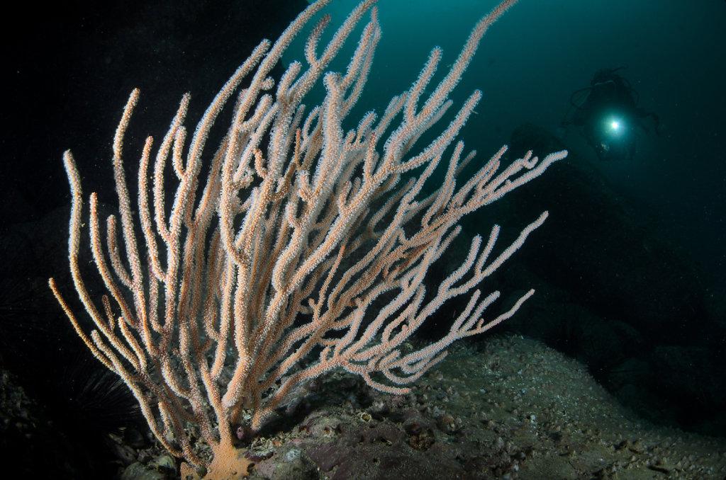Gorgonian Sea Whip