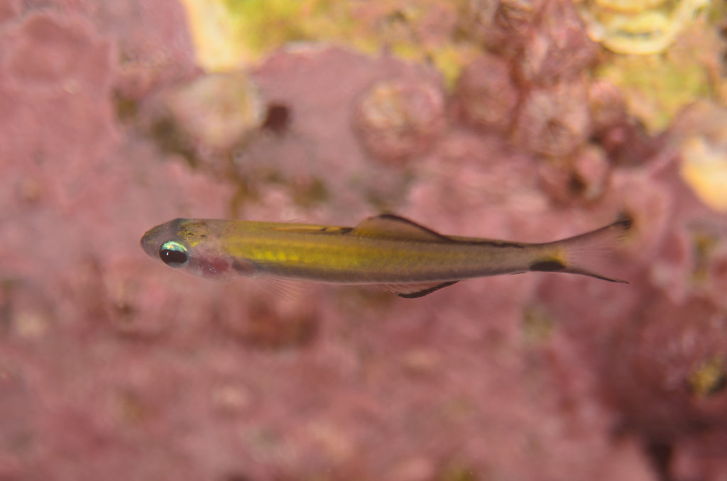 Blackfin dartfish juvenile