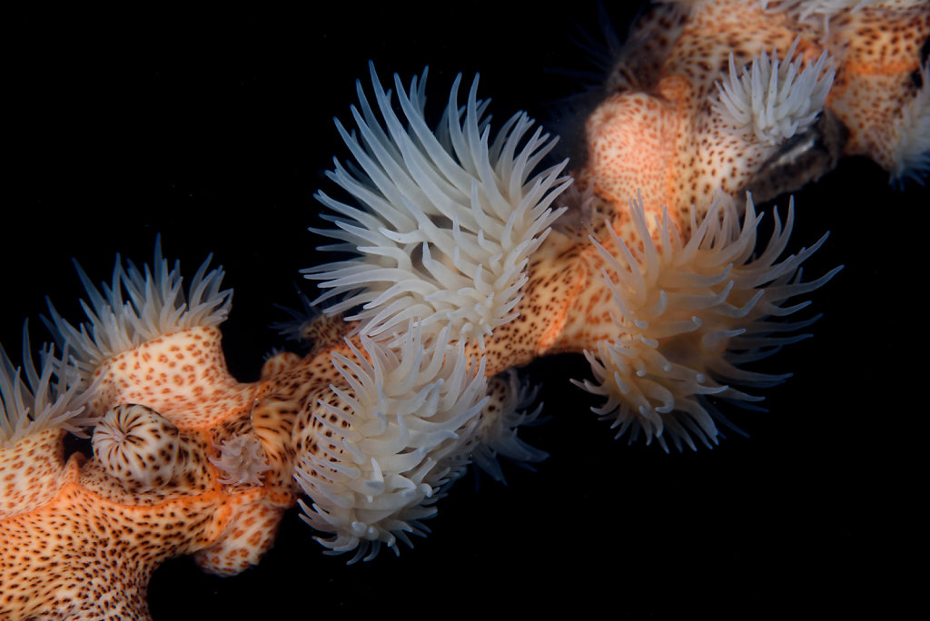 Gorgonian Wrapper