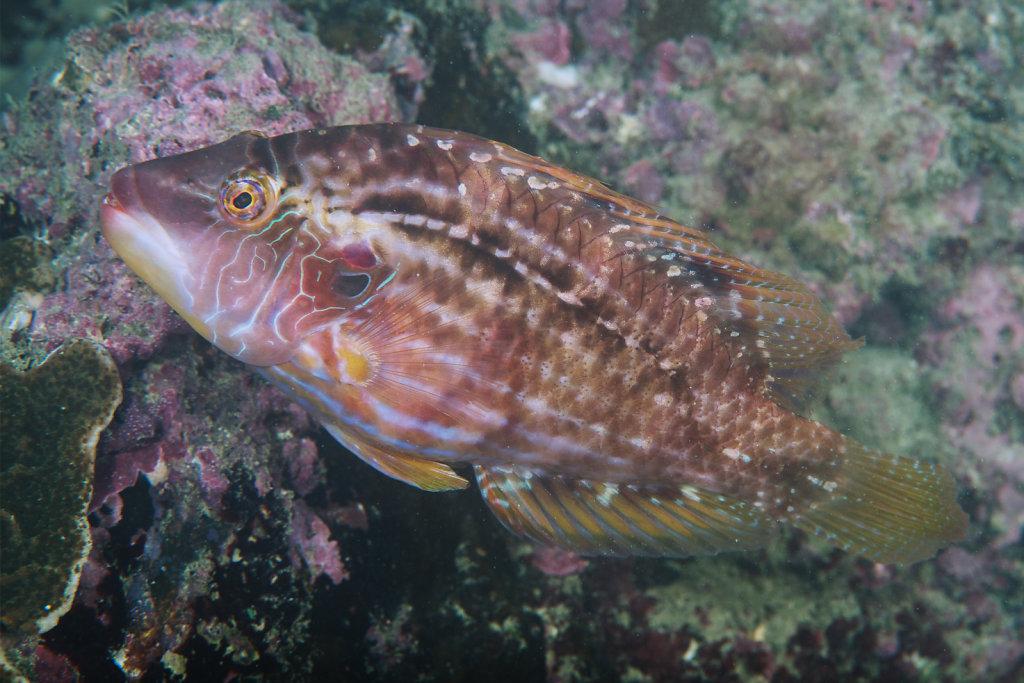 九棘高髏盔魚