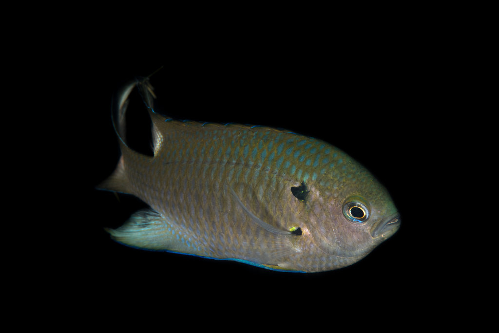 藍黑新雀鯛