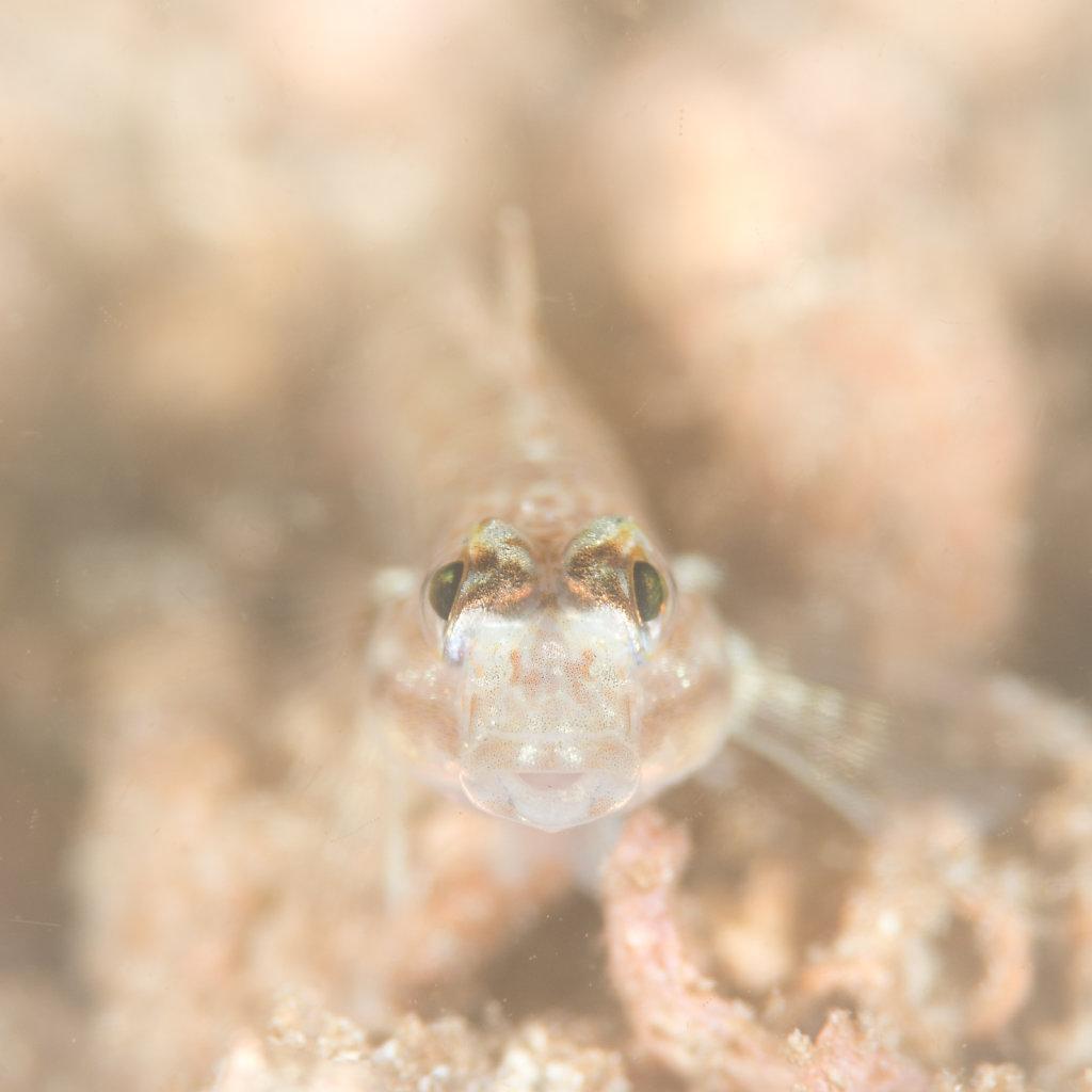 眼線鰕虎魚