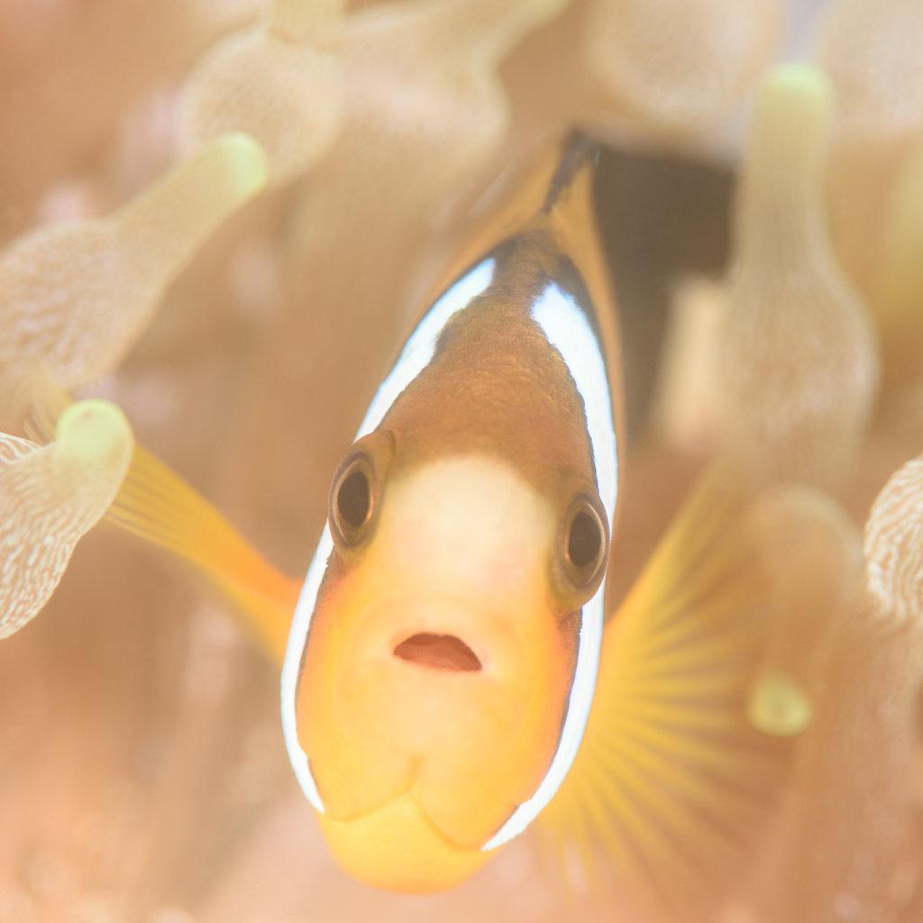 和風小丑魚