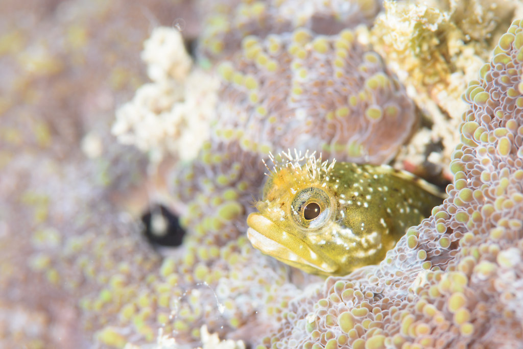 A Dive with Blennies 3