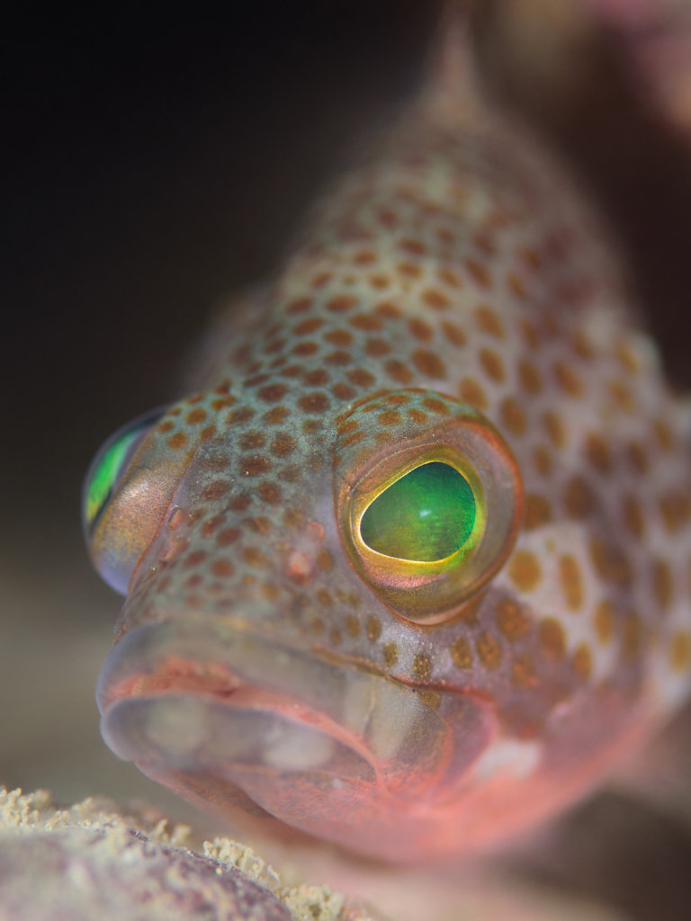 Rock grouper