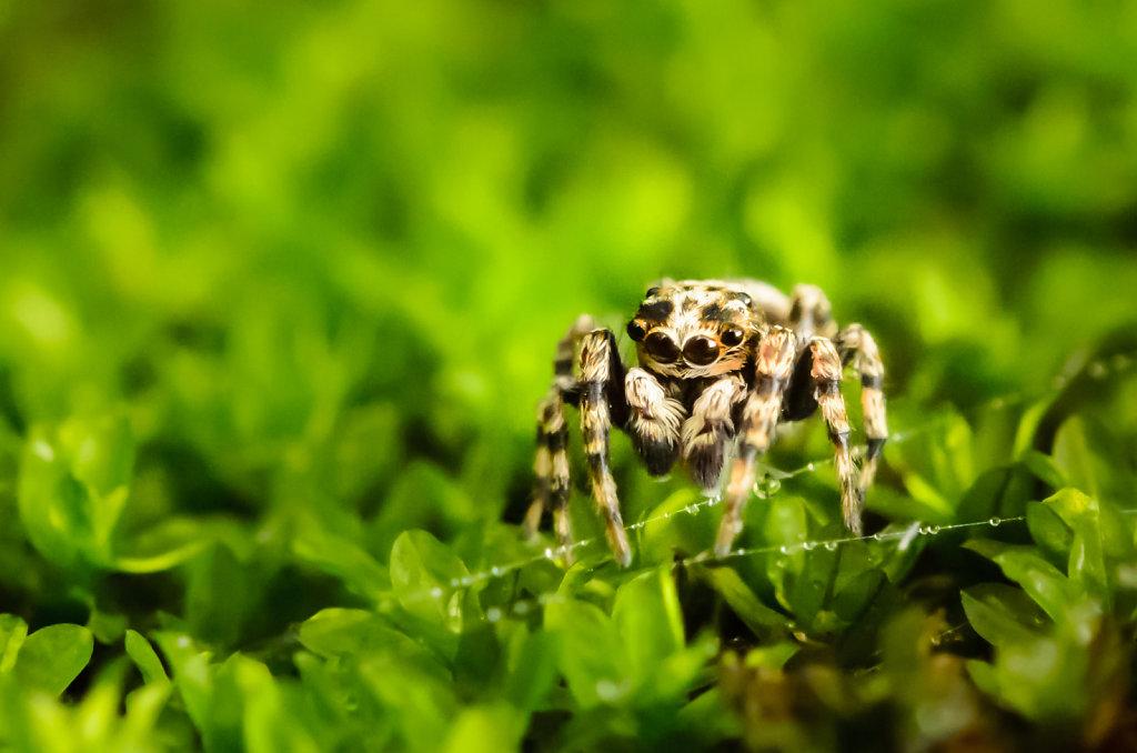 Jumping Spider (Sitticus fasciger)