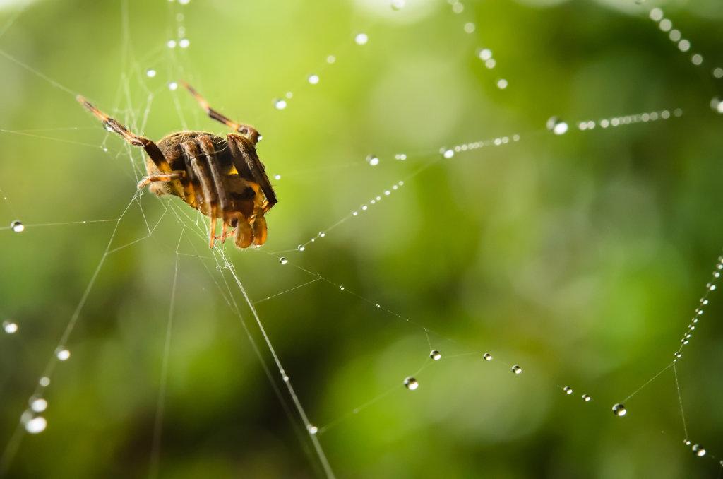 Orb Weaver Spider (family Araneidae)