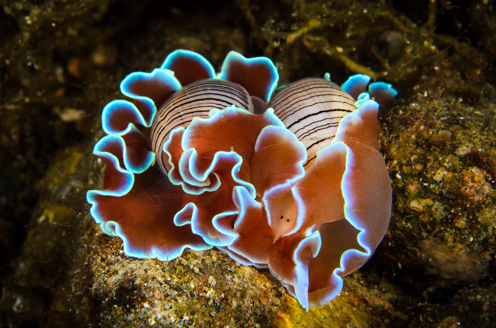 Beautiful Pair of Bubble Shell Sea Slug (Hydatina physis)