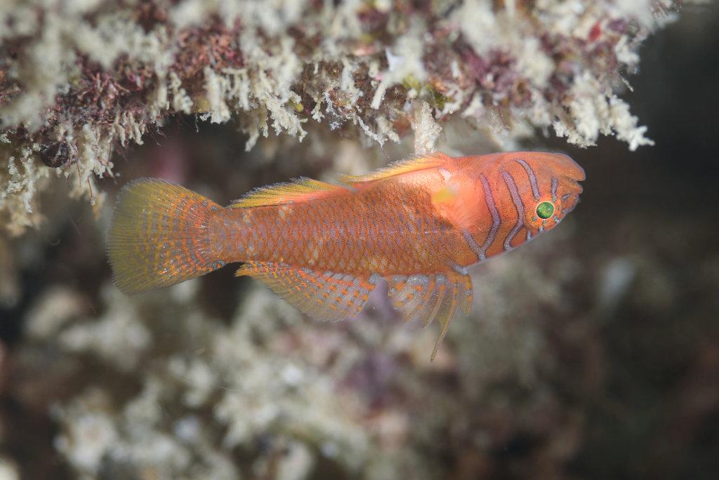 終於影到嚟條橙色成日倒掛係石底嘅鰕虎魚全相