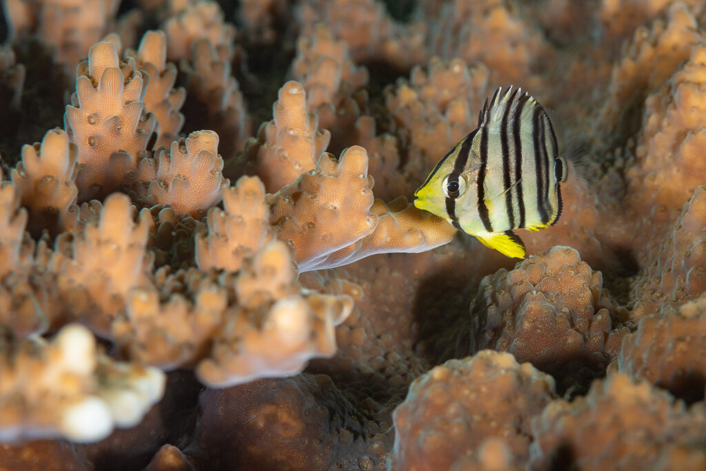 Baby Eightband Butterflyfish